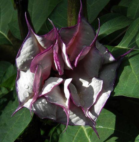 una bella pero extraña flor que adorna nuestro jardín #HosteriaMarySol en San Andrés, Colombia