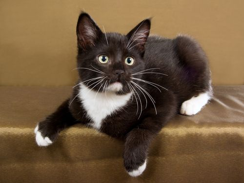 chocolate brown kitten, who i`m going to name Brownie