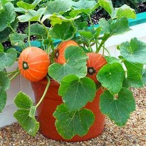 Pumpkin Seeds - 6 Top Varieties - Vegetable Garden Seeds - Swallowtail Garden Seeds :: only 2 feet tall plants