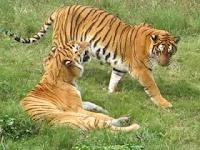 Harimau Pleistosen http://evobig.blogspot.com/2012/08/mengenal-kucing-besar-zaman-prasejarah.html