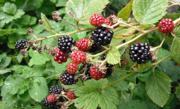Obststraichpflege: Brombeeren kennen viele nur als undurchdringliche Dornenhecke: Wie Sie stark wachsende Brombeeren schneiden, lesen Sie hier