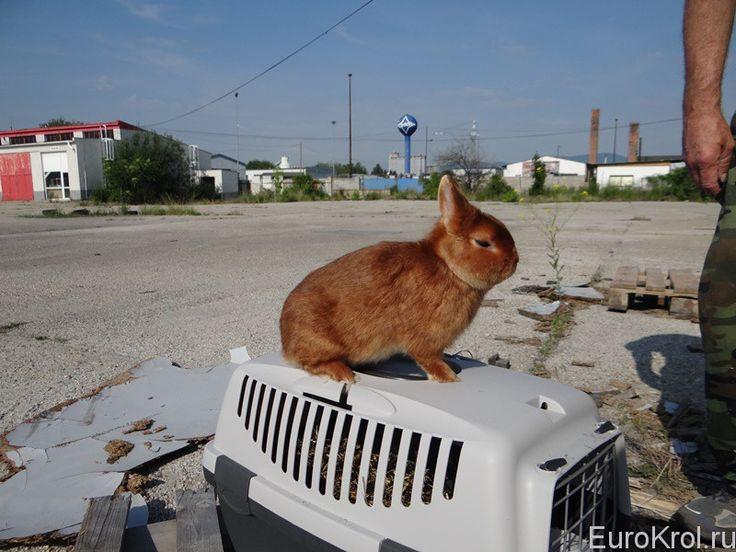 карликовый кролик сатин красный