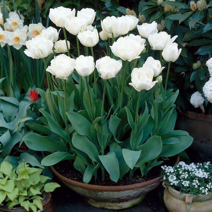 Mount Tacoma Double Late Tulip Planting Tulips Bulb Flowers Tulips Garden