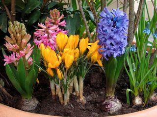 Crocus , jacinthe et muscaris | Fleur hiver, Jonquille ...