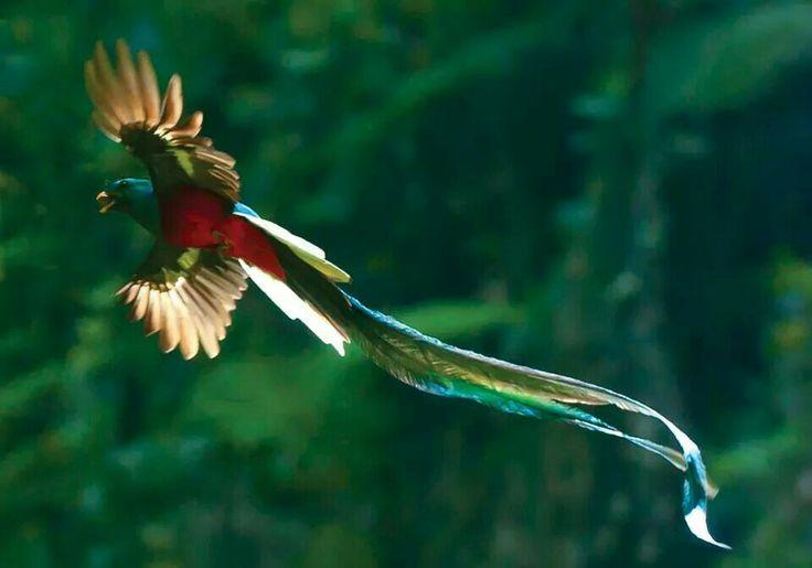 El Quetzal Ave Distintiva de Mexico Epoca Prehispanica Simbolo de Poder y Riqueza.Conosido Tambien Como Serpiente Emplumada.