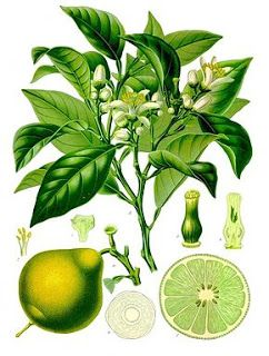 Centáurea de Reva: Óleo Essencial de Bergamota (Citrus bergamia)
