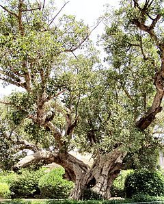 Ficus (/ˈfaɪkəs/[2][3] or /ˈfiːkəs/[4][5] is a genus of about 850 species of woody trees, shrubs, vines, epiphytes and hemiepiphytes in the family Moraceae. Collectively known as fig trees or figs, they are native throughout the tropics with a few species extending into the semi-warm temperate zone.