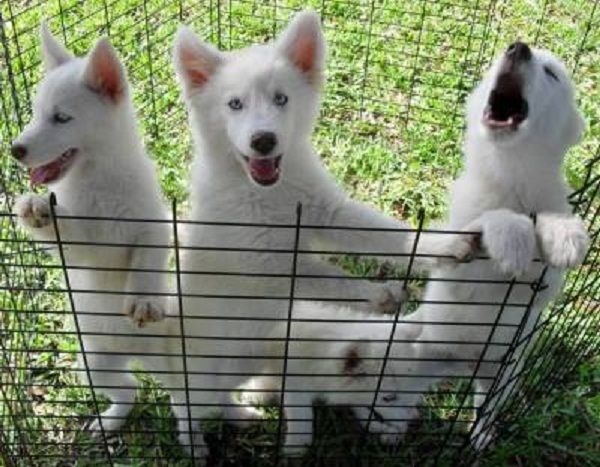 husky wolf mix puppies for sale | Zoe Fans Blog