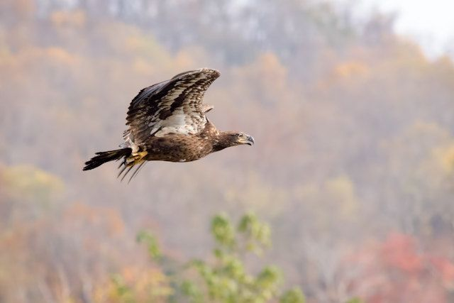 Juvenile Bald Eagle - Raptor, photo, bird of prey, conowingo dam, maryland, american, nature, print, susquehanna river, fall colors, by DajDesigns on Etsy