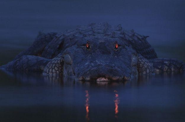 Warning night light, por Larry Lynch (EUA) - O flash sutil foi suficiente para destacar os olhos deste crocodilo encontrado em Myakka River State Park, na Flórida: http://abr.io/5rEs