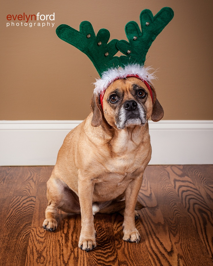 Winston, the Puggle, hoping to join Santa's crew