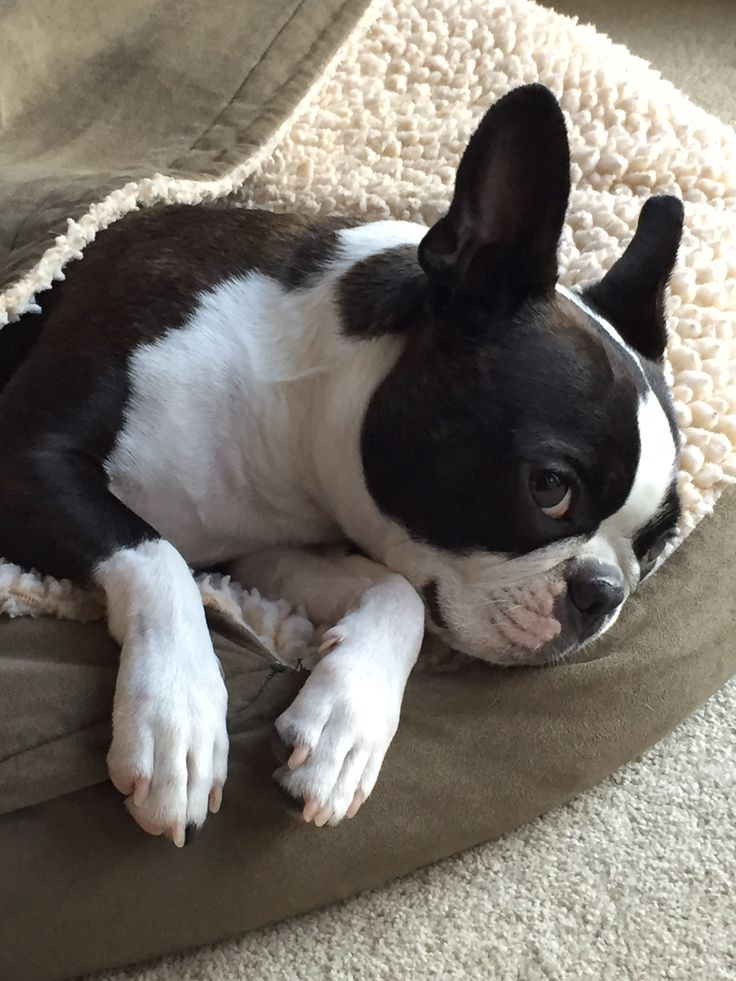 Good looking Boston terrier