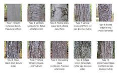 Tree bark identification - good to know when identifying mushrooms that grow on trees.