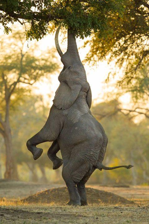 Elephant, Mana Pools, by Marlon du Taoit