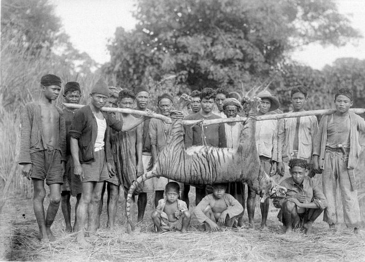 #Javan #tiger is another #subspecies that was #extinct. This subspecies of tiger lived in the #Indonesian island called #Java (this is where its name comes from). Javan tigers were one of the smallest tigers, but still bigger than #BalineseTigers.