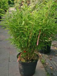 Bambus 'Jumbo' - Fargesia murielae 'Jumbo'. Keine Rhizomsperre erforderlich.