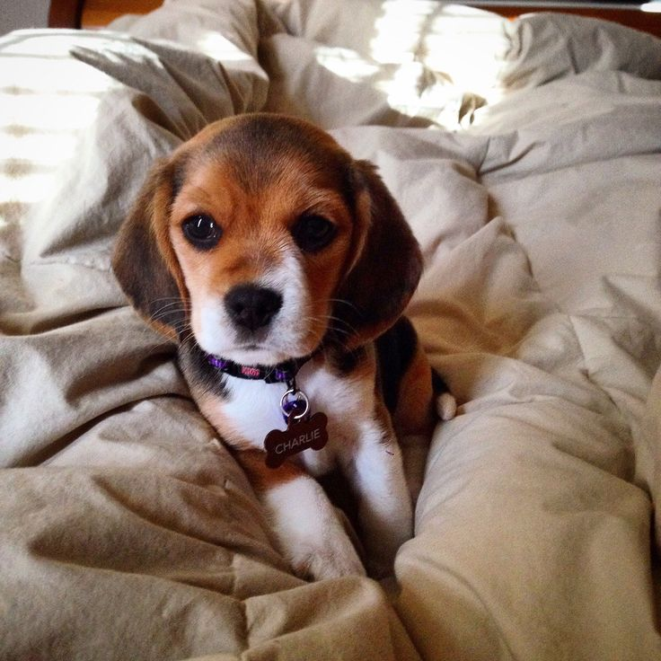 585 best Beagle Puppies images on Pinterest