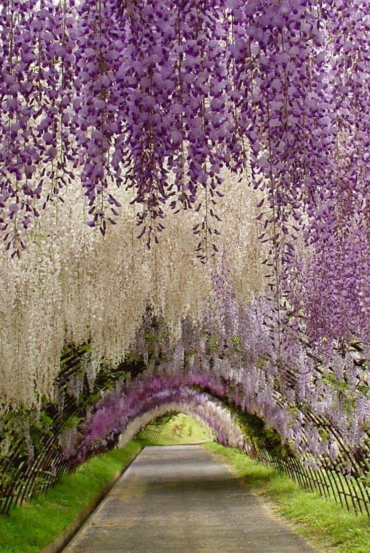 Wisteria Tunnel, Kawachi Fuji Garden, Japan what a colors