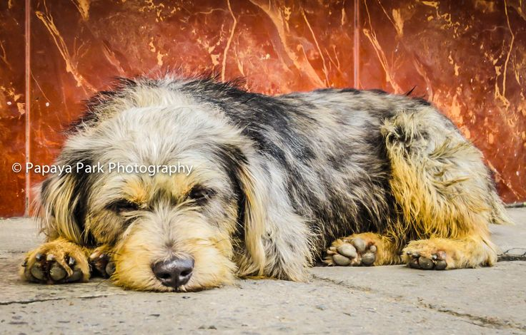 Dog resting on the street in Chiang Mai, Thailand.
