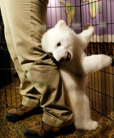 """A three-month-old polar bear cub plays around with her keeper as she is introduced to members of the media during an event to launch the """"Our Bears Belong in Buffalo"""" fundraising campaign at the Buffalo Zoo in Buffalo, N.Y., Friday, March 1, 2013.    TV OUT; MAGS OUT; MANDATORY CREDIT; BATAVIA DAILY NEWS OUT; DUNKIRK OBSERVER OUT; JAMESTOWN POST-JOURNAL OUT; LOCKPORT UNION-SUN JOURNAL OUT; NIAGARA GAZETTE OUT; OLEAN TIMES-HERALD OUT; SALAMANCA PRESS OUT; TONAWANDA NEWS OUT Photo: The Buffalo…"""