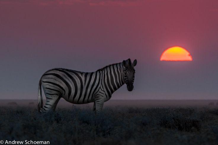Zebra at sunset, in Etosha NP, Namibia / by Andrew Schoeman