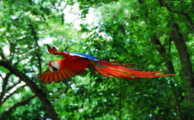 Day 165: Scarlet macaw in flight, Hacienda Bambusa, Armenia (Colombia)
