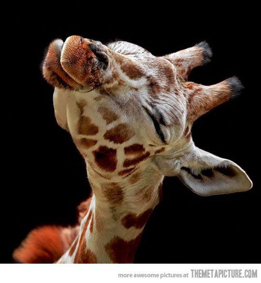 A kiss: Kiss Me, A Kiss, So Cute, Baby Giraffes, Pet, Giraffes Kiss, Pucker Up, Creatures, Baby Animal