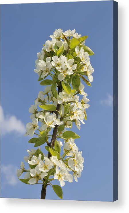 Apple Blossom in Spring Acrylic Print for sale, soft blue, white and green tones. The image gets printed directly onto the back of a sheet of clear acrylic. The image is the art - it doesn't get any cleaner than that! Matthias Hauser - Art for your Home Decor and Interior Design.