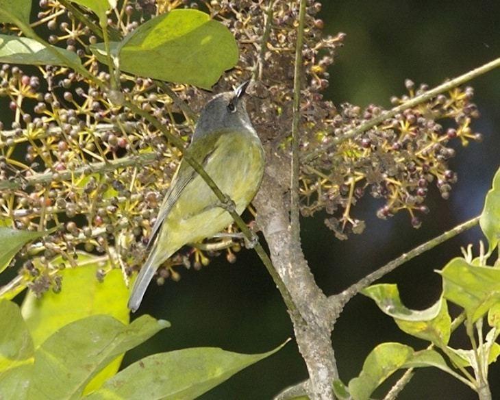 Cara Merawat Burung Opior Jawa Agar Bisa Gacor Burung Jalak