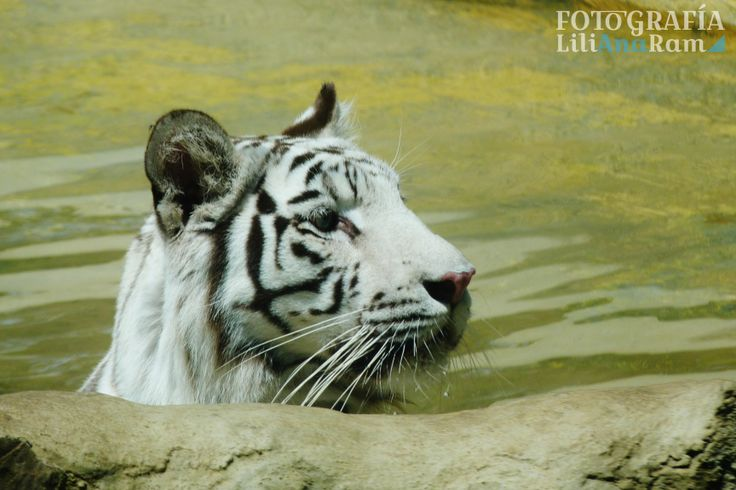 Tigre blanco, white tiger