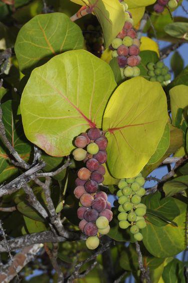 Ripe Sea Grapes....#islandliving #bahamas