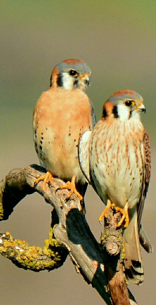 Birds of Prey - American Kestrel,  mated pair. - Photo by Mike Allred