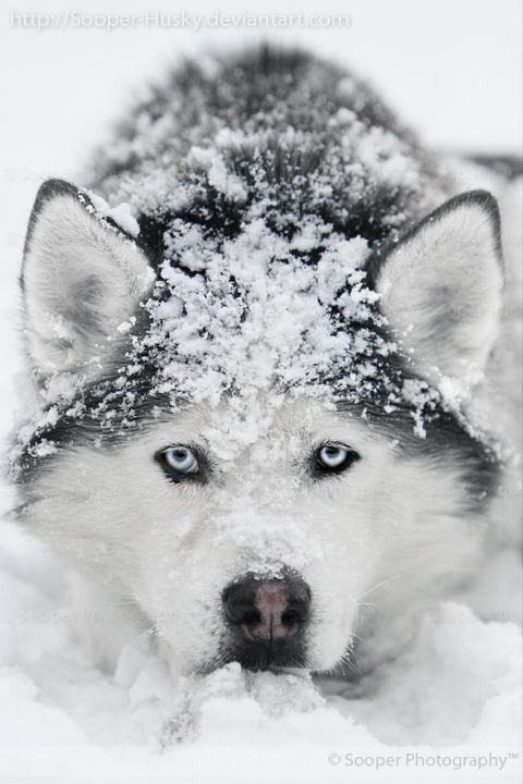 Snow #Dog - he is stunning! Wish i lived in a more wintery…