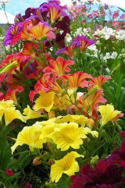 natalca:(со страницы Dazzling Petunias Print by Georgia Hamlin)