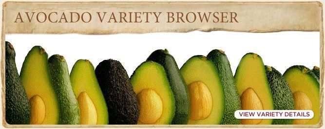 Avocado Plant Varieties | California Avocado Commission Bacon, Fuerte, Gwen, Hass, Lamb Hass, Pinkerton, Reed, Zutano