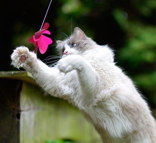 Unser BUZZ besteht aus einem superflexiblen Federstahldraht, an dessen Enden je ein Schmetterling aus zwei Lagen dünnem, aber sehr strapazierfähigem Nylon sitzt, der spitzen Krallen und Zähnen lange standhält. Durch den speziellen Draht bewegen sich die Schmetterlinge bei Berührung so unregelmäßig, dass sie täuschend echt wirken und sogar Flug- und Flattergeräusche erzeugen. Da wird selbst der kuscheligste Stubentiger zum wilden Raubtier. Und das Beste: Wenn der erste Schmetterling schon…
