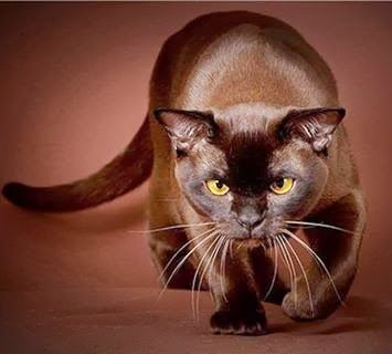 235 best images about • BROWN CATS • on Pinterest | Havana ... - photo#21