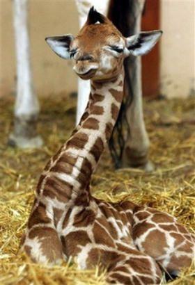 Baby Giraffe. ZzzzZ