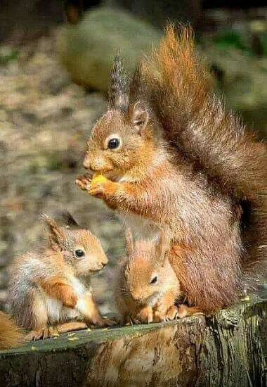 familia de veverite