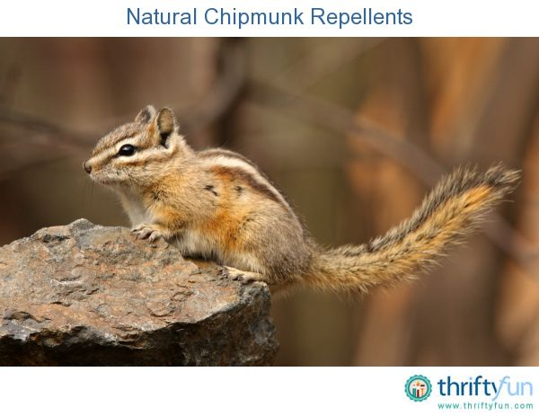 Natural Chipmunk Repellents Gardens Chipmunks And Tips