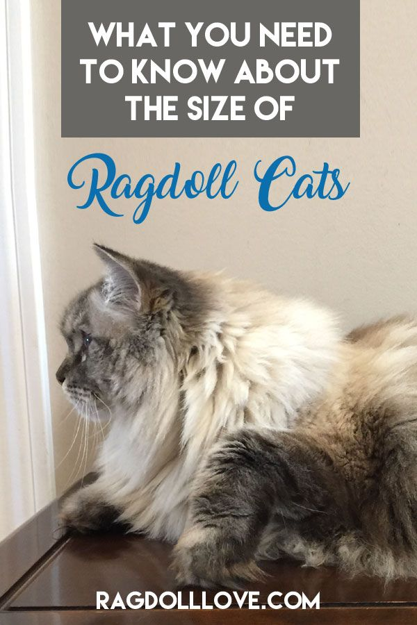 5 Things You Need To Know About Ragdoll Cat Size Ragdoll Cat Ragdoll Cat Rescue Ragdoll Cat Breed