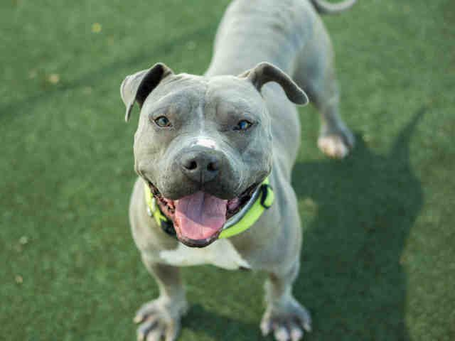 American Pit Bull Terrier dog for Adoption in Martinez, CA. ADN-597756 on PuppyFinder.com Gender: Male. Age: Adult