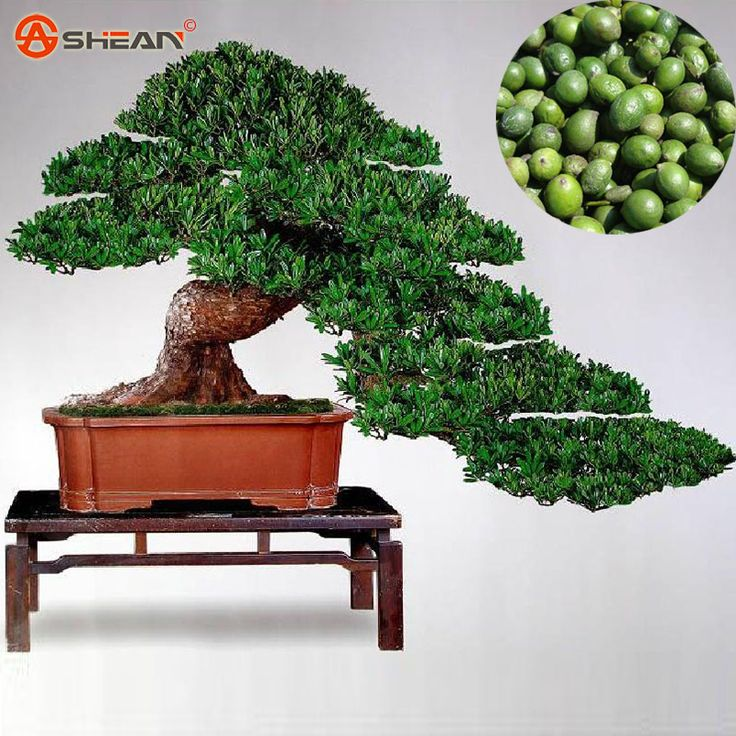 Podocarpus Seeds of Evergreen Bonsai Podocarpus Pine Tree 100% True Seed in-kind Shooting 5 particles / lot #clothing,#shoes,#jewelry,#women,#men,#hats,#watches,#belts,#fashion,#style