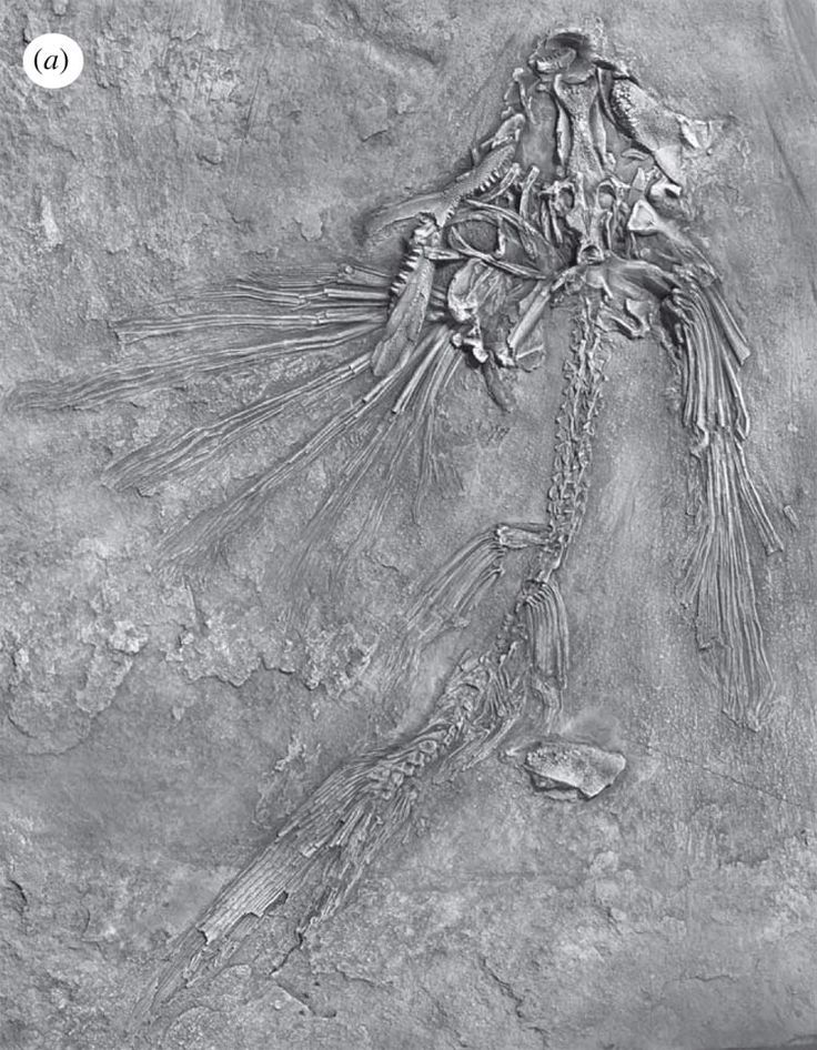 The flying fish (fossil specimen shown here) lived about 235 million to 242 million years ago in an ancient sea. CREDIT: Guang-Hui Xu. LiveScience