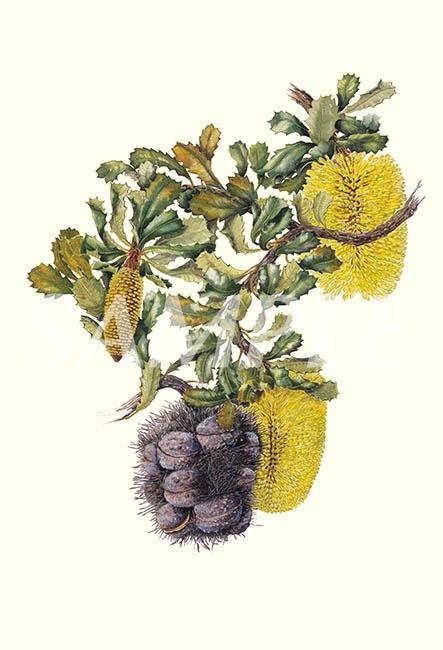 Yellow Lantern Banksia by the wonderful  Philippa Nikulinsky