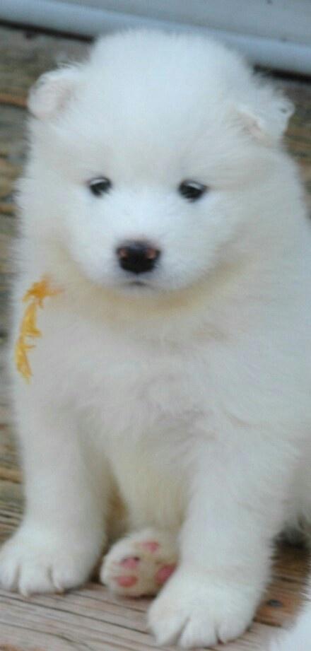 Samoyed puppy 33 days old :) - Linrosa