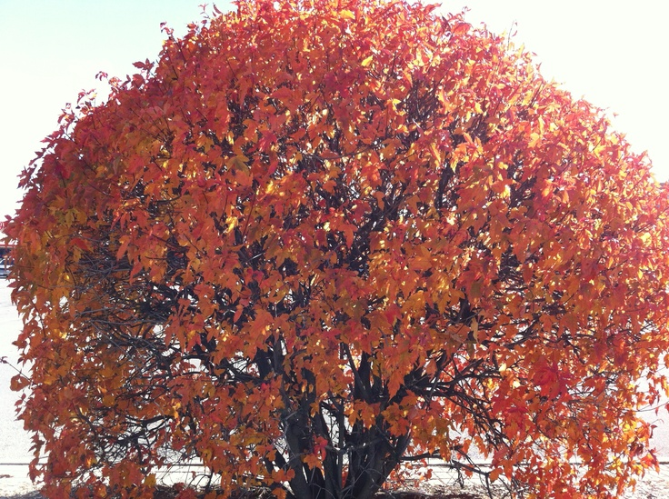 The red leaves of fall in Ontario