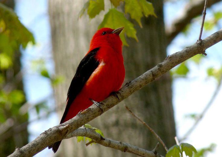 17 meilleures id es propos de oiseaux color s sur for Oiseaux du sud de la france