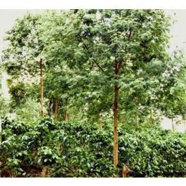 Graines Mimosa Scabrella (Graines Mimosa Bracatinga)
