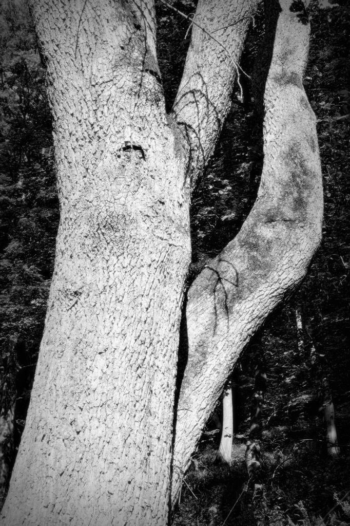 bwstock.photography   //  #oak-tree